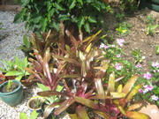 BROMELIADS_VERY NICE IN SUN OR SHADE_$10 EACH_PHONE ONLY PLEASE